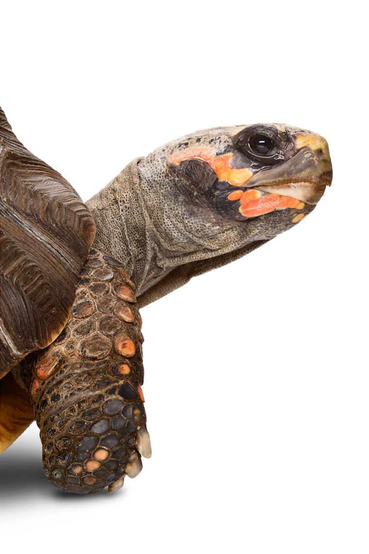 Red-Footed Tortoise portrait