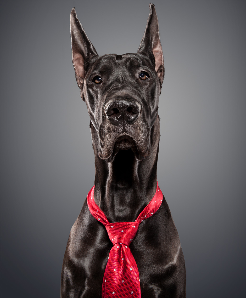 Great Dane as Vince McMahon