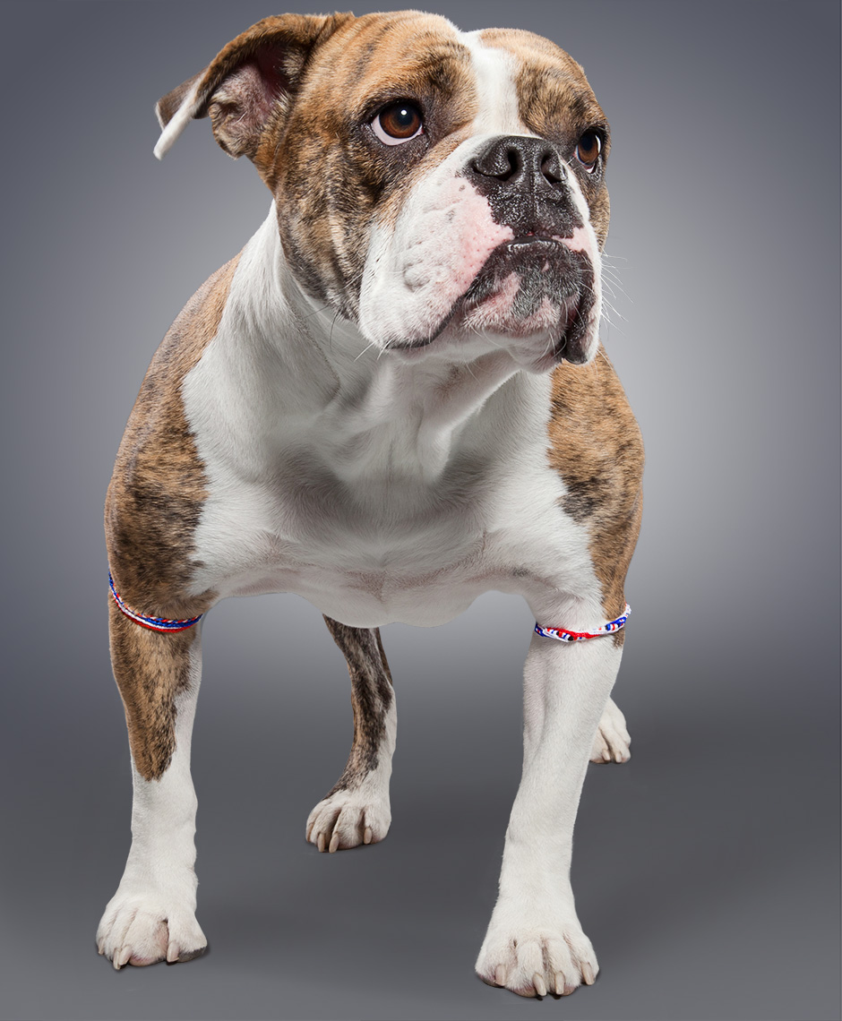 Bulldog as the British Bulldogs